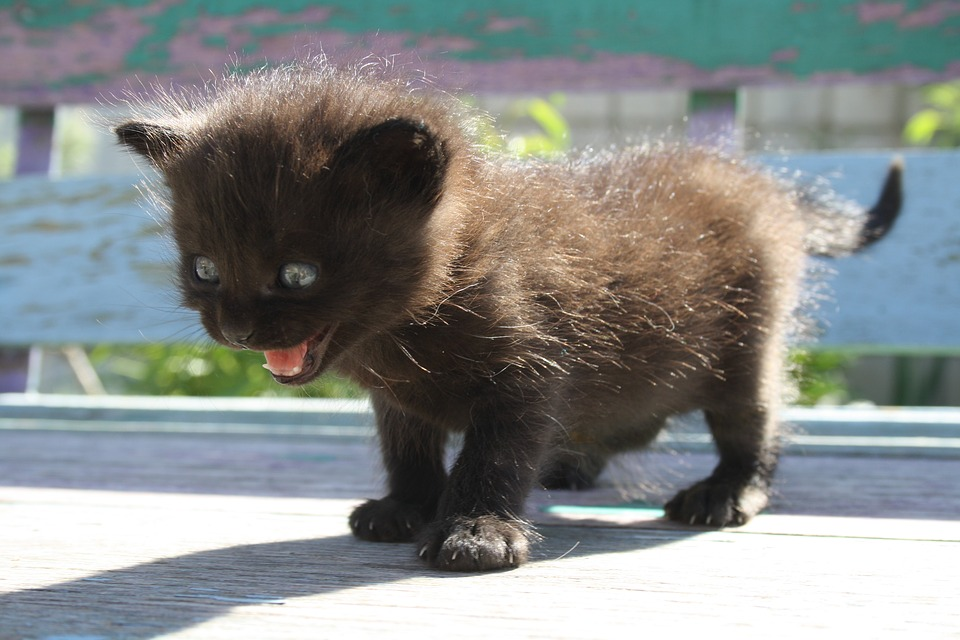 hungrige-junge-katze-kitten